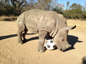 Rhinoceros with a signed soccer ball